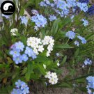 Buy Myosotis Sylvatica Flower Seeds 200pcs Plant Flowers Forget Me Not Garden