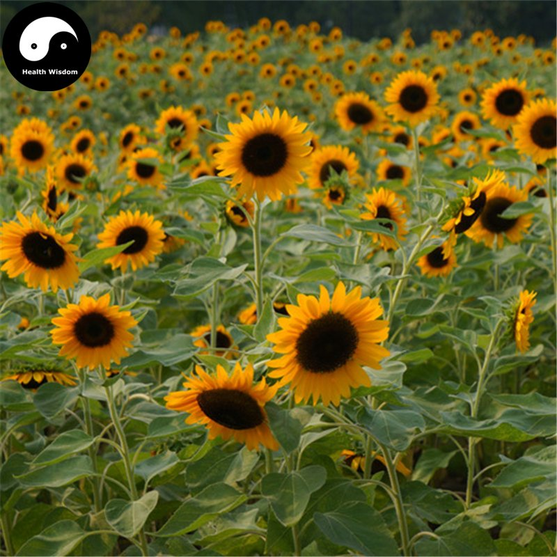 Buy Helianthus Annus Flower Seeds 600pcs Plant Chinese Sunflower Garden