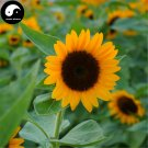 Buy Helianthus Annus Flower Seeds 300pcs Plant Chinese Sunflower Garden