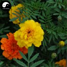 Buy Tagetes Patula Flower Seeds 240pcs Plant Garden Flower Tagetes Patula