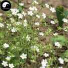 Buy Gypsophila Paniculata Flower Seeds 300pcs Plant Garden Flower Gypsophila