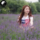 Buy Lavender Flower Seeds 1000pcs Plant Purple Flower Lavender Garden