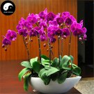 Buy Phalaenopsis Flower Seeds 50pcs Plant Flower Phalaenopsis Bonsai