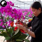 Buy Phalaenopsis Flower Seeds 100pcs Plant Flower Phalaenopsis Bonsai