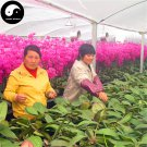 Buy Phalaenopsis Flower Seeds 200pcs Plant Flower Phalaenopsis Bonsai