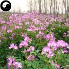 Buy Astragalus Sinicus Flower Seeds 300pcs Plant Purple Flower Astragalus