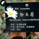 Buy Pyrethrum Flower Seeds 120pcs Plant Insect Repellent Flower Pyrethrum