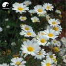 Buy Pyrethrum Flower Seeds 240pcs Plant Insect Repellent Flower Pyrethrum