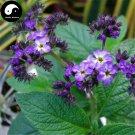 Buy Brunfelsia Hopeana Flower Seeds 50pcs Plant Fragrant Grass Heliotropium