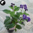 Buy Brunfelsia Hopeana Flower Seeds 100pcs Plant Fragrant Grass Heliotropium
