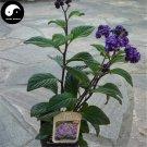 Buy Brunfelsia Hopeana Flower Seeds 200pcs Plant Fragrant Grass Heliotropium