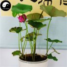 Buy Chinese Bowl Lotus Flower Seeds 20pcs Water Plant Flower Lotus