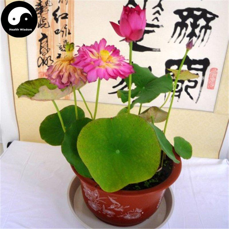 Buy Chinese Bowl Lotus Flower Seeds 40pcs Water Plant Flower Lotus