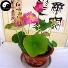 Buy Chinese Bowl Lotus Flower Seeds 40pcs Water Plant Flower Lotus