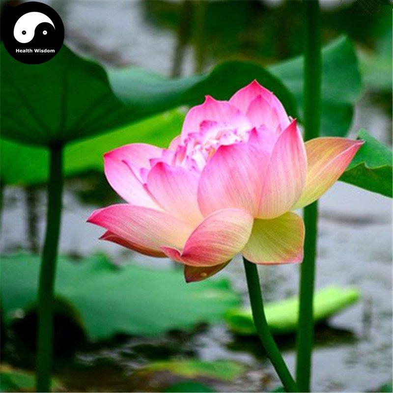Buy Chinese Pond Lotus Flower Seeds 20pcs Water Plant Flower Nelumbo Lotus