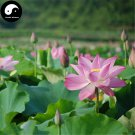Buy Chinese Pond Lotus Flower Seeds 40pcs Water Plant Flower Nelumbo Lotus