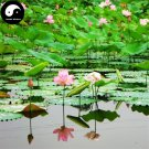 Buy Chinese Pond Lotus Flower Seeds 80pcs Water Plant Flower Nelumbo Lotus