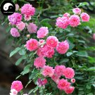 Buy Chinese Rose Tree Seeds 50pcs Plant Flower Wild Rosa Qiang Wei