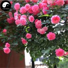 Buy Chinese Rose Tree Seeds 100pcs Plant Flower Wild Rosa Qiang Wei