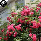 Buy Chinese Rose Tree Seeds 200pcs Plant Flower Wild Rosa Qiang Wei
