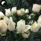 Buy Chinese Rose Tree Seeds 400pcs Plant Flower White Rosa Rugosa