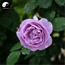 Buy Chinese Rose Tree Seeds 200pcs Plant Flower Purple Rosa Rugosa