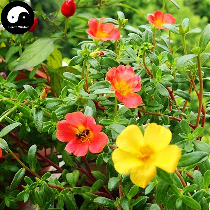Buy Portulaca Grandiflora Flower Seeds 800pcs Plant Chinese Sunflower Pine Peony