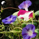 Buy Morning Glory Flower Seeds 240pcs Plant Chinese Pharbitis Nil Flower Garden