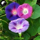 Buy Morning Glory Flower Seeds 60pcs Plant Chinese Pharbitis Nil Flower Garden
