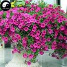 Buy Morning Glory Flower Seeds 240pcs Plant Pink Pharbitis Nil Flower Garden
