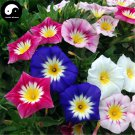 Buy Morning Glory Flower Seeds 240pcs Plant Color Pharbitis Nil Flower Garden