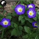 Buy Morning Glory Flower Seeds 120pcs Plant Color Pharbitis Nil Flower Garden