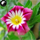 Buy Morning Glory Flower Seeds 60pcs Plant Color Pharbitis Nil Flower Garden