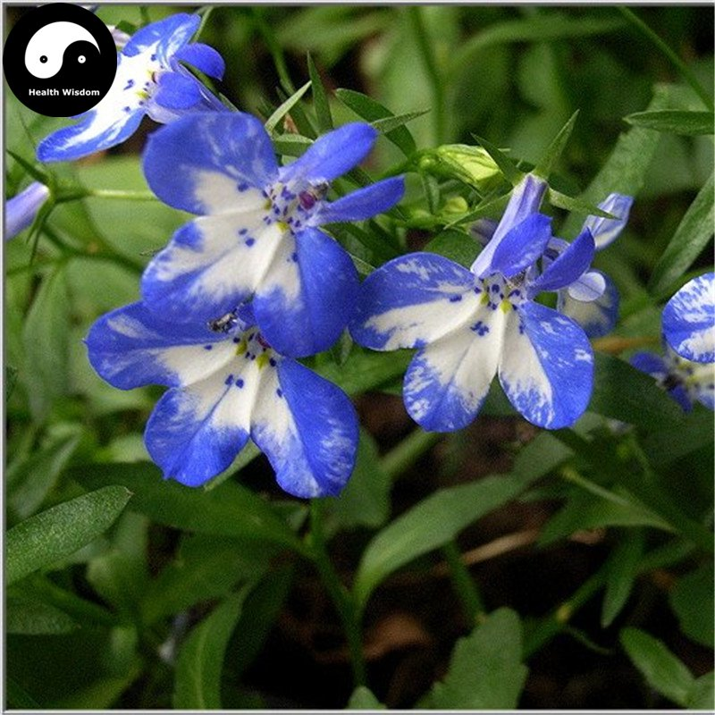 Buy Lobelia Erinus Flower Seeds 200pcs Plant Blue Flower Garden Lobelia Bonsai