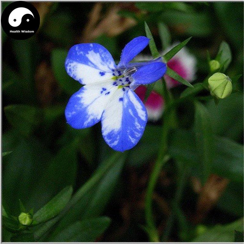 Buy Lobelia Erinus Flower Seeds 100pcs Plant Blue Flower Garden Lobelia Bonsai