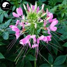Buy Cleome Spinosa Flower Seeds 50pcs Plant Blue Flower Garden Cleome Spinosa