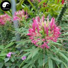 Buy Cleome Spinosa Flower Seeds 100pcs Plant Blue Flower Garden Cleome Spinosa