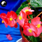Buy Begonia Semperflorens Flower Seeds 60pcs Plant Flower Garden Begonia