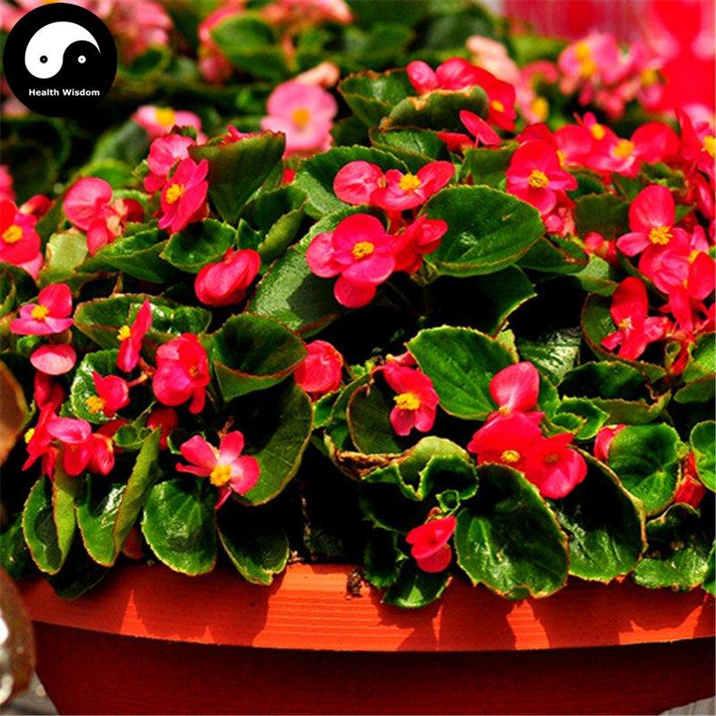 buy begonia semperflorens flower seeds 120pcs plant flower. Black Bedroom Furniture Sets. Home Design Ideas