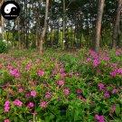 Buy Mirabilis Jalapa Flower Seeds 240pcs Plant Flower Garden Mirabilis Jalapa