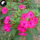 Buy Mirabilis Jalapa Flower Seeds 120pcs Plant Flower Garden Mirabilis Jalapa