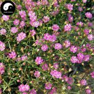 Buy Rosa Pink Prosperity Flower Seeds 400pcs Plant Flower Garden Prosperity