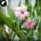 Buy Rosa Pink Prosperity Flower Seeds 100pcs Plant Flower Garden Prosperity