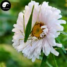 Buy White Callistephus Flower Seeds 100pcs Plant Flower Callistephus Chinensis