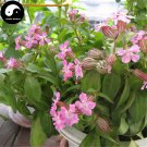Buy Silene Pendula Flower Seeds 400pcs Plant Pink Flower Silene Pendula Garden