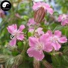 Buy Silene Pendula Flower Seeds 200pcs Plant Pink Flower Silene Pendula Garden