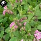 Buy Silene Pendula Flower Seeds 100pcs Plant Pink Flower Silene Pendula Garden