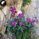 Buy Matthiola Incana Flower Seeds 400pcs Plant Flower Matthiola Incana