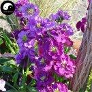 Buy Matthiola Incana Flower Seeds 200pcs Plant Flower Matthiola Incana