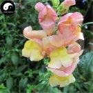 Buy Snapdragon Flower Seeds 100pcs Plant Flower Dragon's Month Antirrhinum Majus